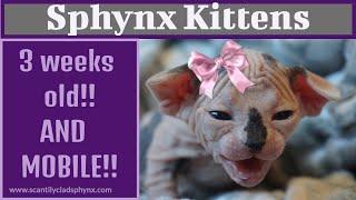 Rebel's Sphynx Kittens - 3 weeks old