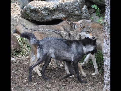 International Wolf Center 2 August 2013 - An Ethology Quiz
