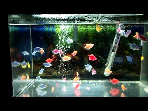 Freshwater Tropical Fish Glofish