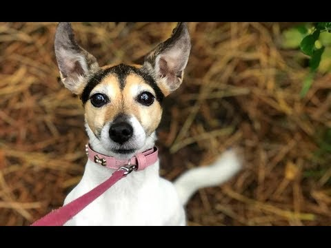 Cute Jack Russell Chihuahua Mix Video Compilation - Jack chi