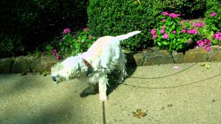 Slow Motion Dog Shaking Off Water West Highland White Terrier Westie Drying Off In Hd Slow Mo Video