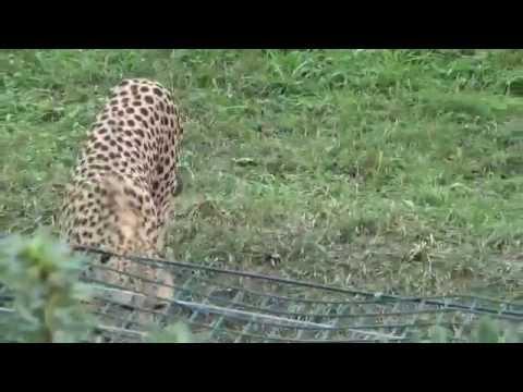 Cheetah (Acinonyx jubatus) Prague Zoo ברדלס | צ׳יטה