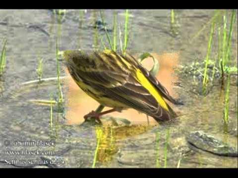 Ptice pjevice Hrvatske