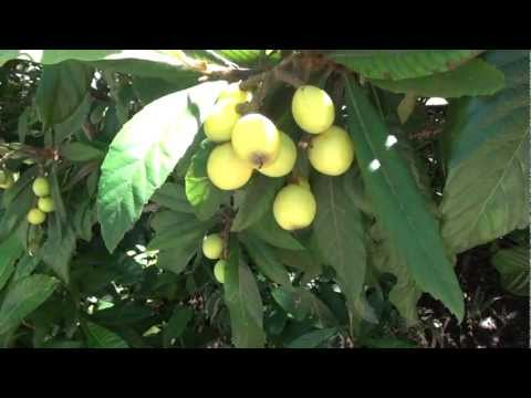 What Is A Loquat? (Eriobotrya Japonica) Commonly Seen In Downtown Austin Historic Homes