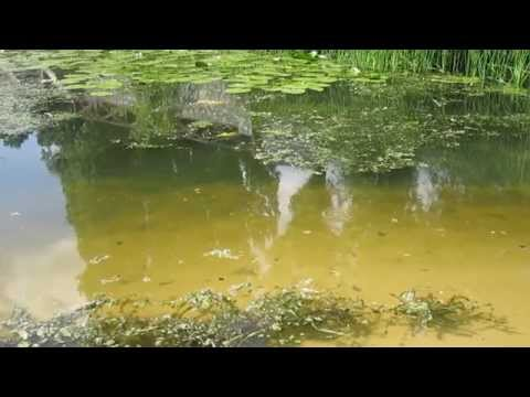 Fish in the pond on the river
