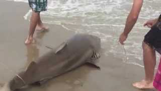 Large Shark caught on Outer Banks Beach June 26, 2