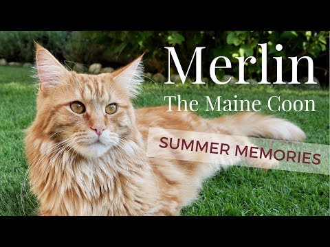 Merlin the Maine Coon - MY SUMMER MEMORIES!
