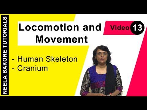 Locomotion and Movement - Human Skeleton - Cranium