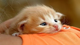 Cutest Bobtail Kittens Compilation  Who Can Resist Their Cuteness?