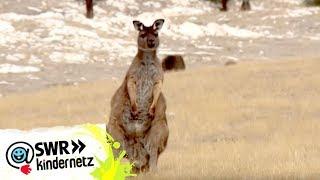 OLI auf Expedition: Bei den Kängurus | OLI