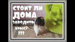 СТОИТ ЛИ ЗАВОДИТЬ КРЫС ДОМА  Плюсы и минусы декоративных крыс ДЕКОРАТИВНАЯ КРЫСА Домашняя крыса
