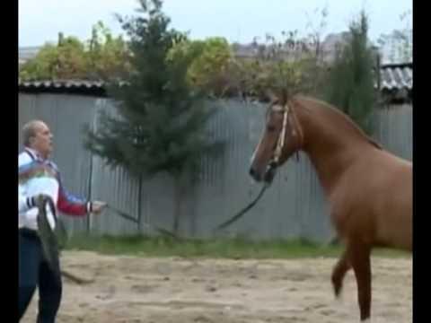 Azerbaijan Karabakh Horse / Azərbaycan Qarabağ Atı / Азербайджан Карабахская лошадь