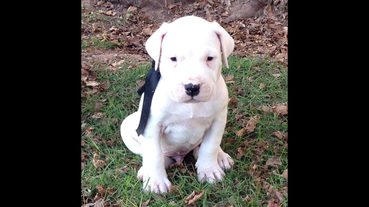 Dogo Argentino puppies for sale - YouTube