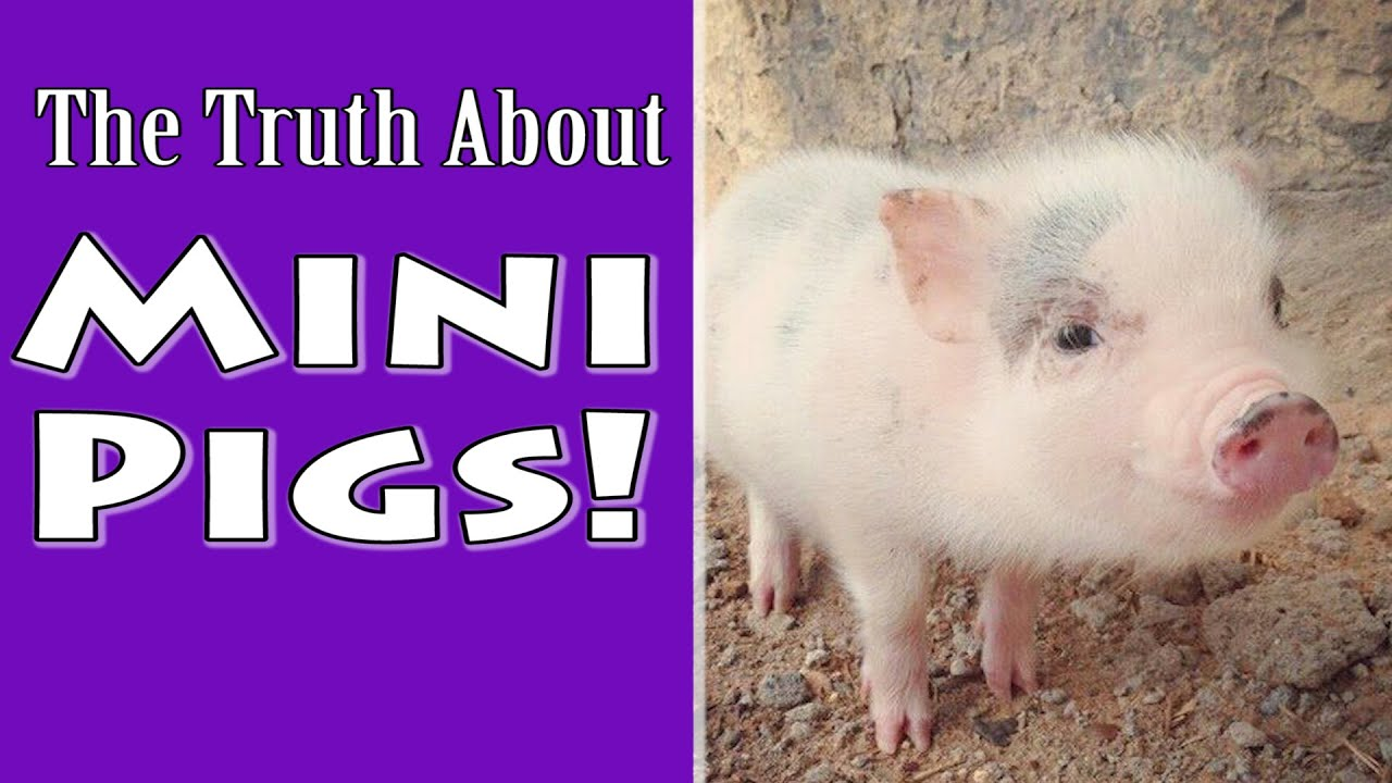 Teacup pigs are popular on YouTube and Instagram once again
