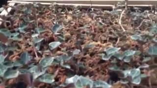 Cách trồng lan kim tuyến, lan gấm