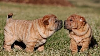 Shar Pei, Puppies, For, Sale, In, Southaven, Mississippi, County, Ms, Meridian, Biloxi, Hattiesburg