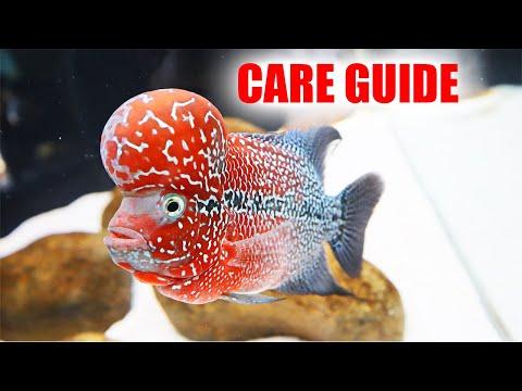 EASY FLOWERHORN CARE GUIDE (2019)