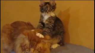 Коты Мейн куны любят массаж.Породы кошек Мейн кун.