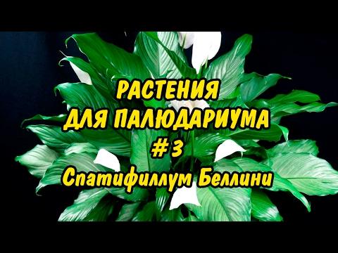РАСТЕНИЯ ДЛЯ ПАЛЮДАРИУМА. #3. Спатифиллум Беллини. PLANTS FOR PALUDARIUM. Spathiphyllum bellini