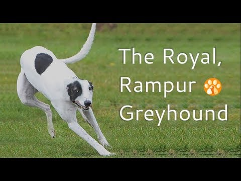 Rampur Greyhound, The Royal Indian Dog