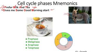 Cell cycle phases of Mitosis and meiosis | easy tricks to remember