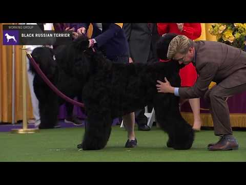 Black Russian Terriers | Breed Judging 2020