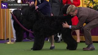 Black Russian Terriers | Breed Judging 2020