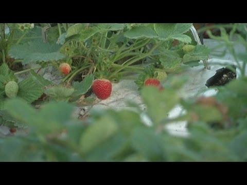 Afrique du sud, Culture des fraises sur la côte du KwaZulu-Natal