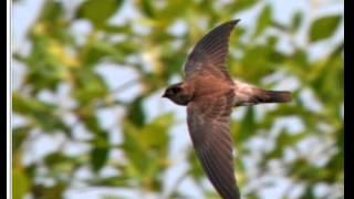 masteran suara burung walet suara panjang 2 menit lebih