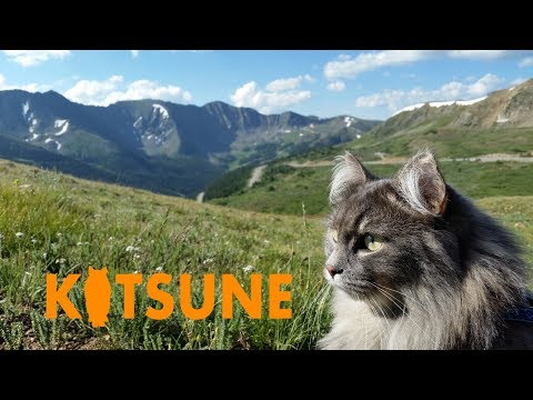 Siberian cat climbs mountain at Loveland Pass