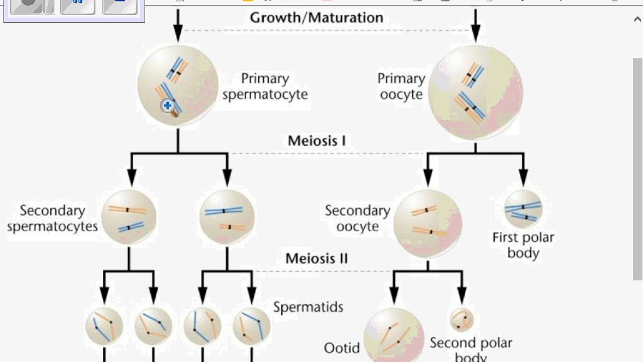 Meiosis spermato oogenesis youtube meiosis spermato oogenesis ccuart Image collections