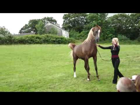 arabian stallion master design GA by versace, at bychan arabians.llandeilo