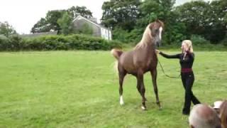 arabian stallion master design GA by versace, at bychan arabians.llandeilo