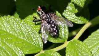 Common flesh fly - Sarcophaga carnaria