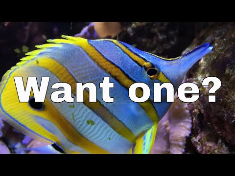 Do You Really Want A Copperband Butterflyfish?