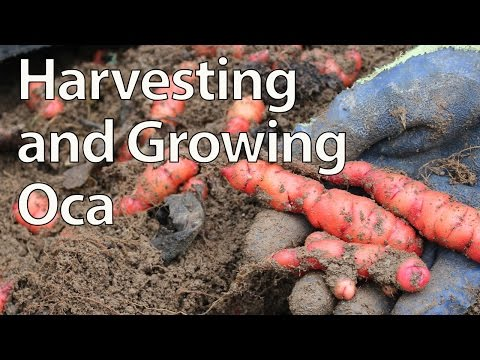 Harvesting and Growing Oca - New Zealand Yam