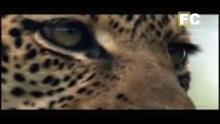 Piton come filhote de leopardo, a mãe persegue a cobra