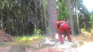 Ms 462 spurce tree felling
