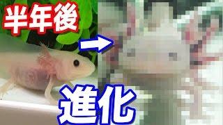 【衝撃映像】ウーパールーパーのうーさんを半年間育てた結果… thumbnail