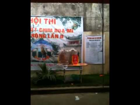 Hội thi chim Hoạ mi hot thị trấn chợ cồn Hải hậu Nam Định(c