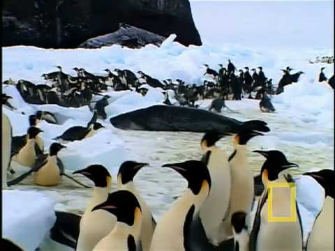 Emperor Penguins Feeding - McMurdo Sound