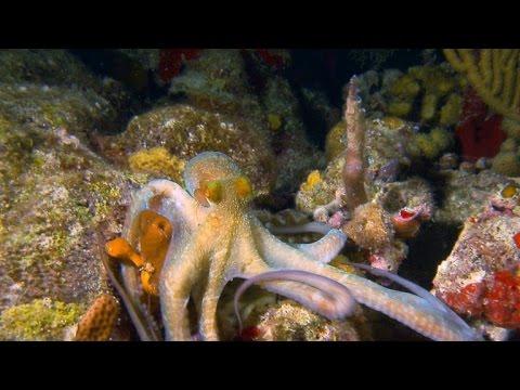 Nature: Octopi in the U.S. Virgin Islands
