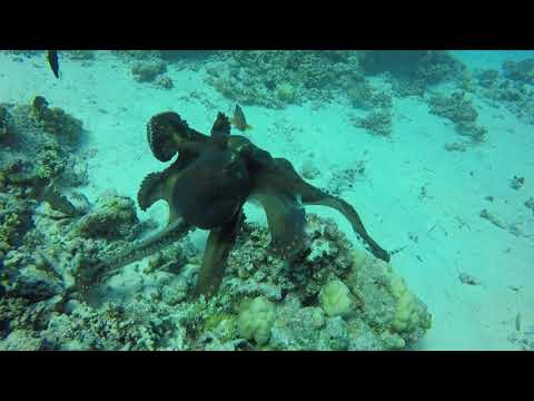 octopus versus tiger snake eel - Red Sea - Egypt - hurghada