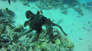 Octopus Versus Tiger Snake Eel   Red Sea   Egypt   Hurghada