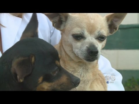 Chihuahuas Rescued From Hoarder; SPCA Seeks Adoptions
