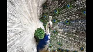 Самая красивая птица в мире