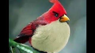 Lagu Anak Burung Kutilang