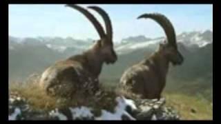 Graubünden Steinböcke