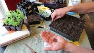 Great Herbs! How to Seed Start Oregano Indoors: Over Seeding Method! - MFG 2014