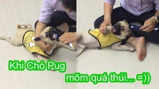 Chó Pug phản ứng NTN khi bị Đánh Răng bằng Bàn Chải =)) PUGK VLOG